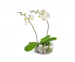 Cam Kasede Çift Dallı Orkide