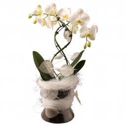 Elegant orchid incl. vase