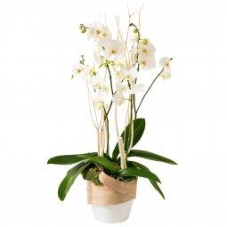 Çekici Orkide