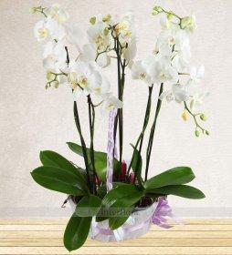 Jumbo Boy Orkide