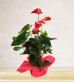 Kırmızı Antoryum Bitkisi