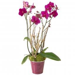 Fuşya Orkide