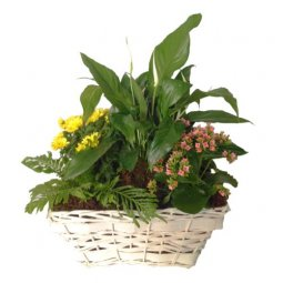 Mixed Plants in Basket (Subject to availability)