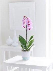 Pembe Orkide