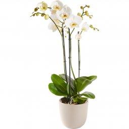 Özel Saksılı Orkide
