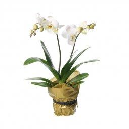 Çiftli Orkide