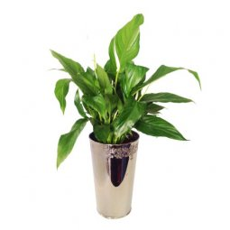 Spathiphyllum In Decorative Vase (Subject to avail