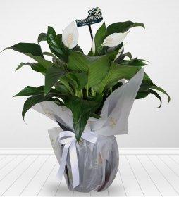 Spatifilyum Bitkisi Çiçeği