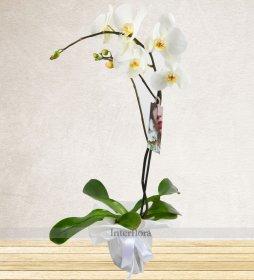 Tek Dallı Beyaz Orkide