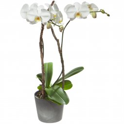 White Orchid (Phalaenopsis) in cachepot
